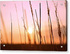 Wildgrass Sunset Acrylic Print by David Schoenheit