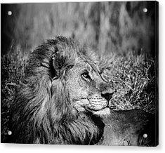 Acrylic Print featuring the photograph Wildlife Lion by Gigi Ebert