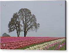 Willamette Valley Tulips Acrylic Print by Nick  Boren