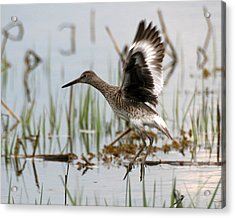 Willet Taking Flight Acrylic Print