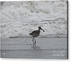 Willet With A Catch Acrylic Print by Gayle Melges