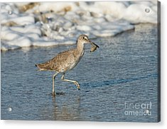 Willet With Sand Crab Acrylic Print