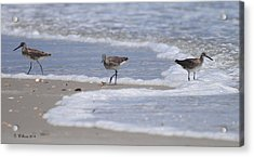 Willets On Ocracoke Acrylic Print by Dan Williams