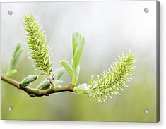 Willow Catkins (salix Sp.) Acrylic Print by Gustoimages/science Photo Library