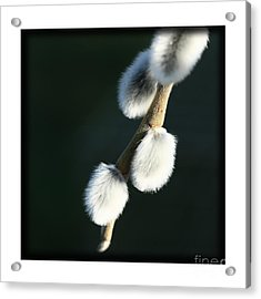 Acrylic Print featuring the photograph Willow On Black by Liz  Alderdice
