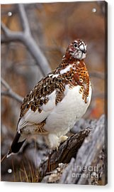 Willow Ptarmigan Acrylic Print