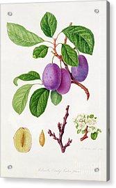 Wilmot's Early Violet Plum Acrylic Print