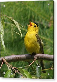 Wilson's Warbler Acrylic Print by John Bushnell