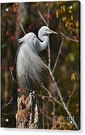 Wind In His Feathers Acrylic Print by Kathy Baccari