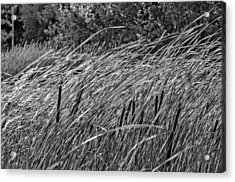 Wind In The Cattails Monochrome Acrylic Print