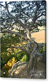 Wind Twisted Tree Acrylic Print