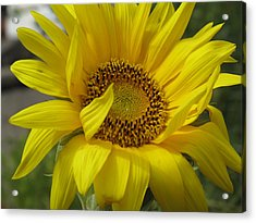 Windblown Sunflower Three Acrylic Print by Barbara McDevitt
