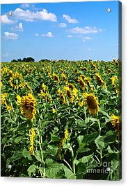 Windblown Sunflowers Acrylic Print
