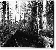 Windfall For Loggers 1908 Acrylic Print