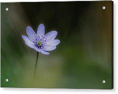 Windflower Acrylic Print