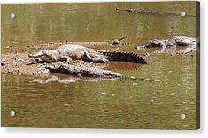 Windjana Crocodiles Acrylic Print