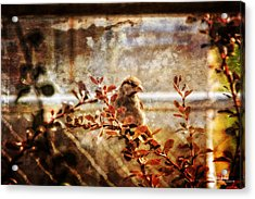 Window Wren Acrylic Print by Dan Quam
