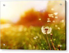 Windy Dandelion In Spring Time Acrylic Print by Stock_colors