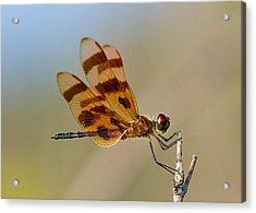 Windy Day Dragonfly Acrylic Print