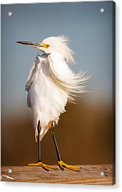 Windy Egret Acrylic Print by Tammy Smith