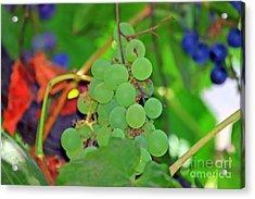 Wine Beginnings Acrylic Print