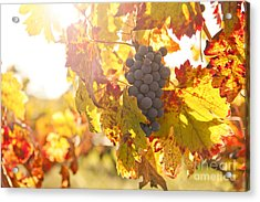 Wine Grapes In The Sun Acrylic Print by Diane Diederich