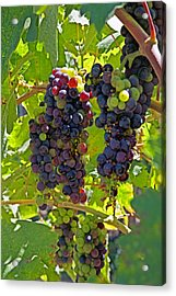 Wine On The Vine Acrylic Print