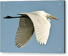 Wings Down Acrylic Print by Paulette Thomas