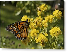 Wings - Monarch On Goldenrod Acrylic Print