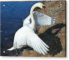 Wings Of A Swan Acrylic Print