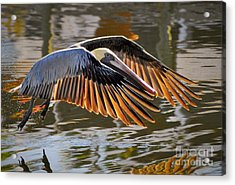 Wings Of Gold Acrylic Print by Quinn Sedam