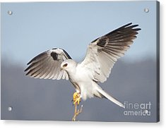 Wingspan Acrylic Print