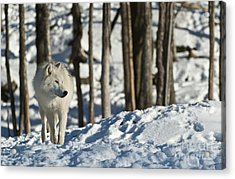 Acrylic Print featuring the photograph Winter Arctic Wolf by Wolves Only
