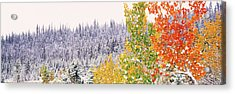 Winter, Aspens, Usa Acrylic Print by Panoramic Images