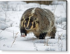 Acrylic Print featuring the photograph Winter Badger by Jack Bell
