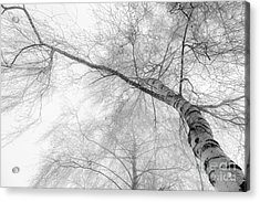 Winter Birch - Bw Acrylic Print by Hannes Cmarits