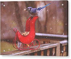 Winter Blue Jay #1 Acrylic Print