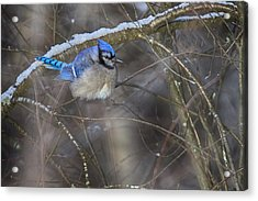 Winter Blue Jay Acrylic Print