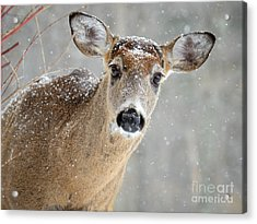 Winter Buck Acrylic Print