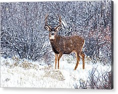 Winter Buck Acrylic Print by Darren  White