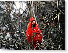 Winter Cardinal 03 Acrylic Print by Thomas Woolworth