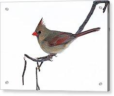 Winter Cardinal II Acrylic Print