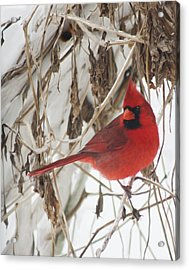 Winter Cardinal On Vines Original Acrylic Print