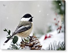 Acrylic Print featuring the photograph Winter Chickadee by Christina Rollo