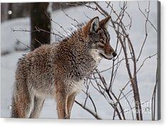Winter Coyote Acrylic Print