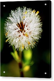 Acrylic Print featuring the photograph Winter Dandelion by Pedro Cardona