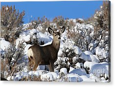 Winter Doe Acrylic Print