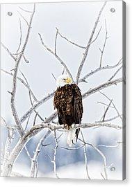 Winter Eagle Acrylic Print by Jana Thompson
