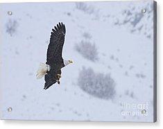 Winter Flight Acrylic Print by Mike  Dawson