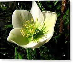 Winter Flowers Acrylic Print by Joyce Woodhouse
